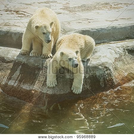 Two Polar Bear Cubs.