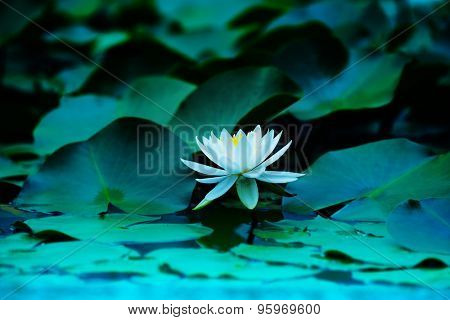 Lotus flower blooming on a tranquil pond in blue morning light. Shallow depth of field for dreamy feel.