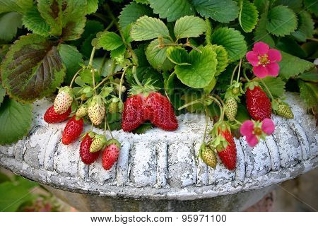 Strawberry plant in the vintage pot