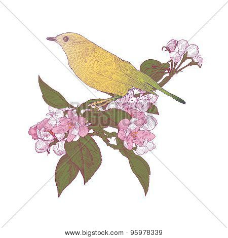 Yellow Bird Sitting Down On Blooming Apple Tree Twigs.