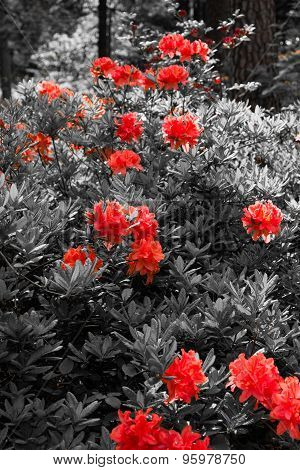 Many Red Rhododendrons In The Garden