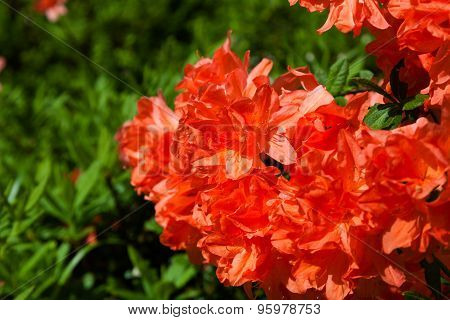 Orange Rhododendrons