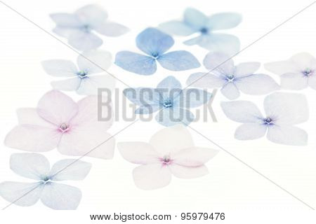 Group of Hydrangea petals on white background