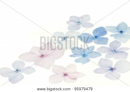 Hydrangea petals on white background