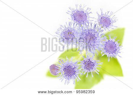 Ageratum houstonianum flower Macro shot