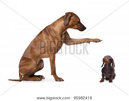 dachshund and  rhodesian ridgeback  group of dog standing