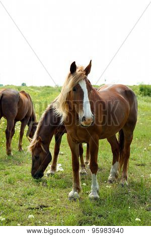 Beautiful horses grazing on meadow