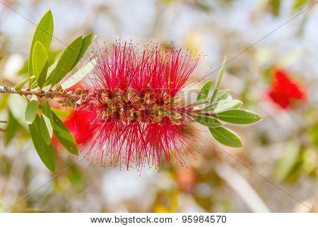 Albizia Julibrissin - Silk Tree