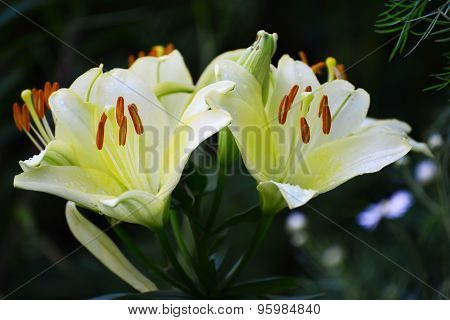 Beautiful White Lilies In The Garden