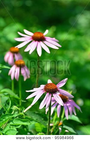 Echinacea Flowers Against A Green Background
