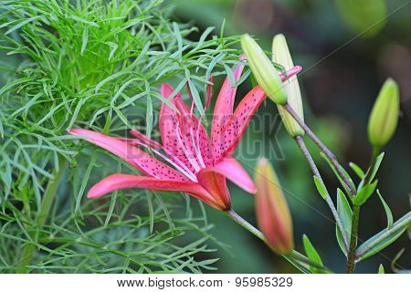 Beautiful Pink Lilies In The Garden