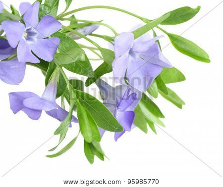 Purple periwinkle isolated on white
