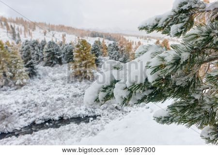 Pine Branches After Snowfall
