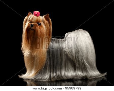Yorkshire Terrier With Long Groomed Hair Stands On Black