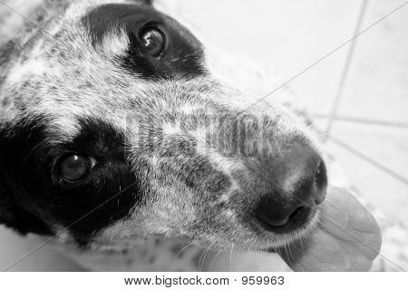 Black And White Dog Face
