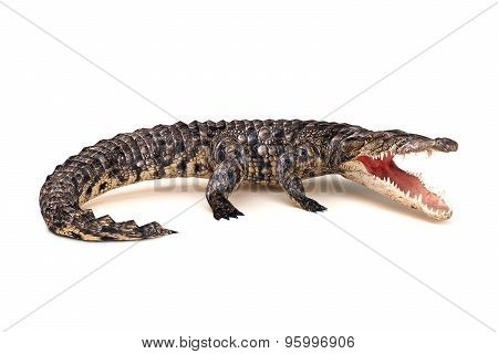 Crocodile in aggressive stance isolated on a white background.