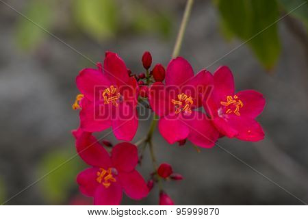 Vivid Orange Red Flowers Of Delonix Regia