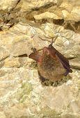 Bechsteins bat (Myotis bechsteinii) poster