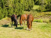 picture of bay horse  - Two bay horses and one dark bay horse grazing on mountain pasture - JPG