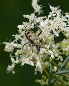 foto of meadowsweet  - spotted longhorn beetle on a blooming meadowsweet macro selective focus shallow DOF - JPG