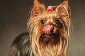 stock photo of yorkshire terrier  - beautiful little hungry yorkshire terrier puppy dog licking her nose and craving some treats - JPG