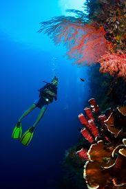 picture of bottomless  - Lady diver exploring tropical bright reef with big red corals on the foreground - JPG