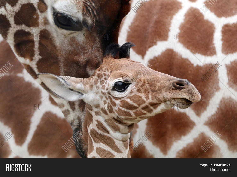 Baby giraffe close up