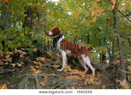 Brittany Dog Pointing