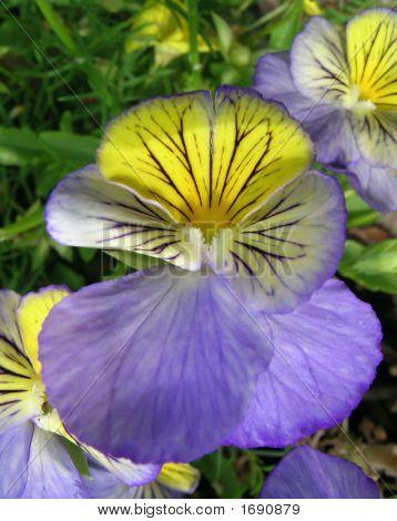 Purple And Yellow Petunias