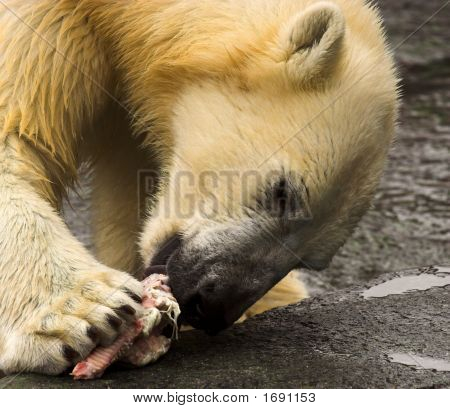 Polar Bear Eating Meat