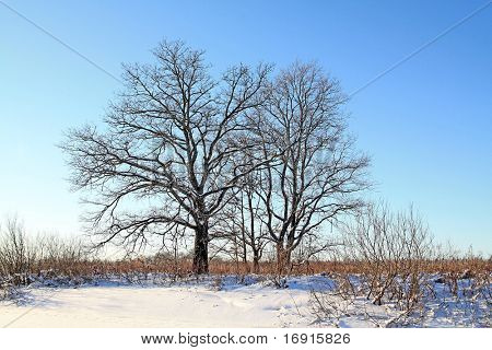 oak wood on winter field