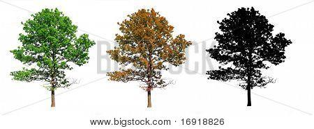 silhouette  oak on white background