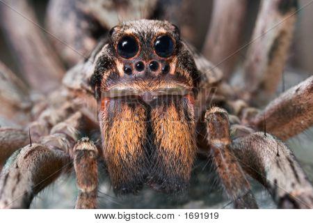 Wolf Spider Close-Up