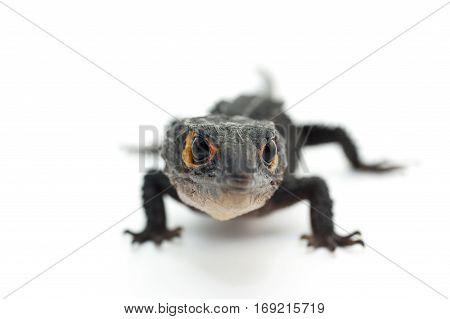 macro lizard gecko isolated on white background