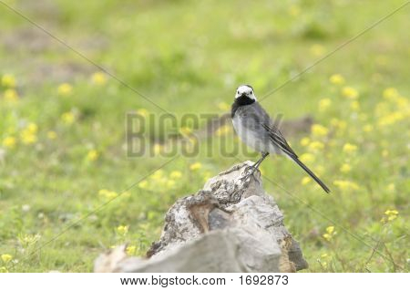 Little Grey Bird On A Rock And A Grass Background With Yellow Flowers