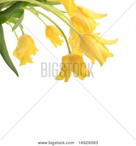 bright yellow tulips isolated on white