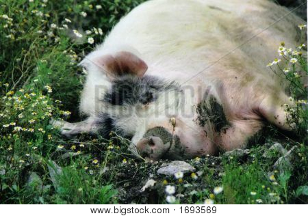 Happy Pig In Daisies