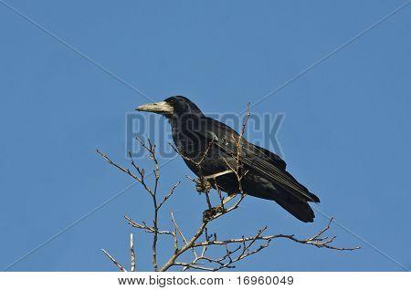 rook on the field / Corvus frugilegus