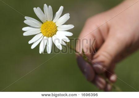 Holding A Daisy