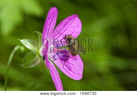 Fly And Pink Flower