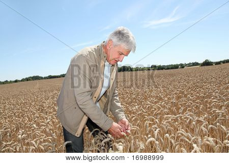 Agronomist working in wheat field in summer season