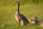 image of mother goose  - Mother Goose watching over her Goslings while feeding.
