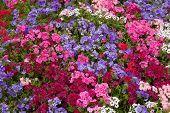 foto of beautiful flower  - Mass of beautiful pink and purple flowers - JPG