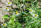 Постер, плакат: Matricaria Chamomilla Flowers Commonly Known As Chamomile also Spelled Camomile German Chamomile