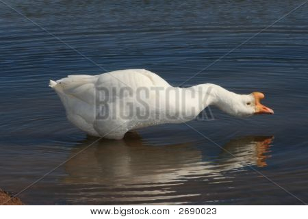 Male Goose Reflection