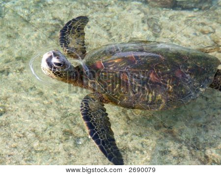 Sea Turtle Poking Head Above Water