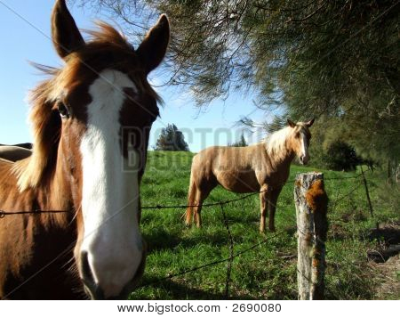 Horses In Pasture