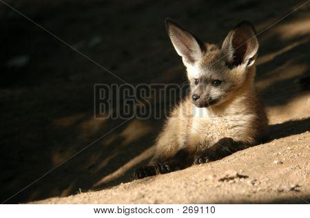 Bat-eared Fox Cub