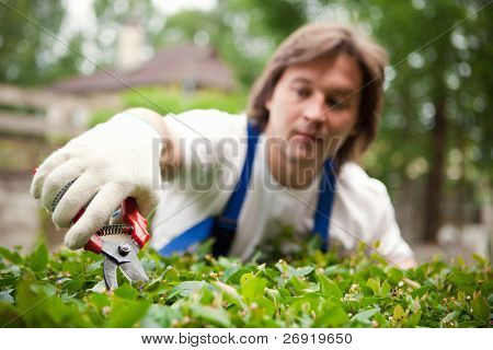 Gardener cutting a bush. Focus on the pruner.