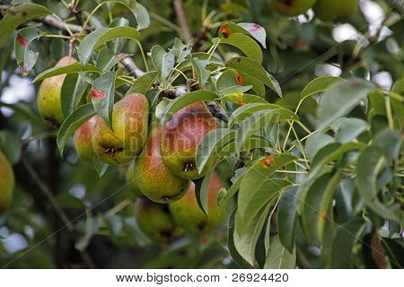 Pears Good Louise Of Avranches